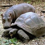 The Hippopotamus and the Tortoise:Folk Tale  from Nigeria