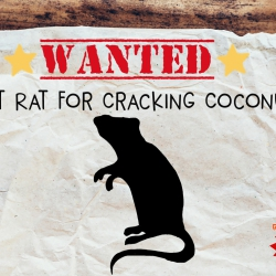 WANTED: Giant Rat For Cracking Coconuts