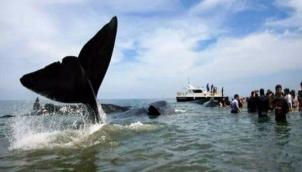கரை ஒதுங்கும் திமிங்கலம் - சுனாமியின் அறிகுறியா?  | Is Whale washed ashore in Singapore sign of Tsunami?