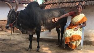 सांड पालने के लिये महिला ने नहीं की शादी - Woman who chose bull over marriage